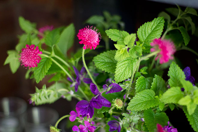 bloom-clary-knautia-lemon-balm