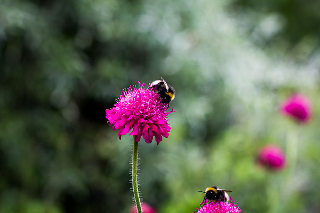 knautia-and-bees-1