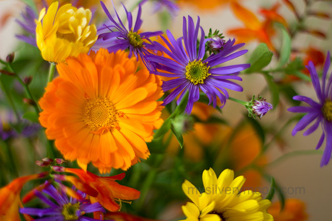 bloom-calendula-and-aster