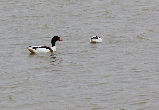 twitching-shelduck
